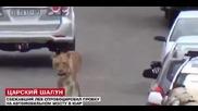 Избягал от зоопарка лъв блокира движението в Кейптаун, Юар