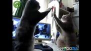 Котки играят на пържоли