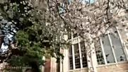 University of Washington Cherry Blossom 20170331 4k Uhd