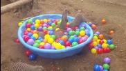 Мангусти си играят в леген с разноцветни топчета.