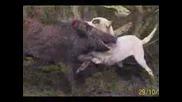 Кучетата Дого Аржентино