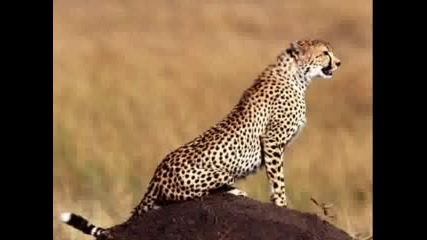Готини Гепарди