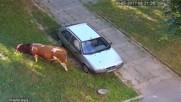 Крава в Ботевград съсипва кола - 2