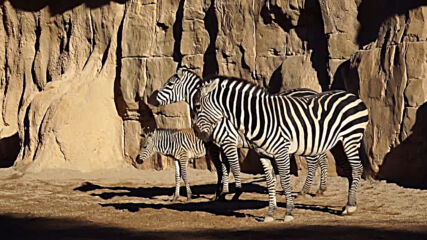 Spanish zoo names baby zebra Filomena after birth during historic snowstorm