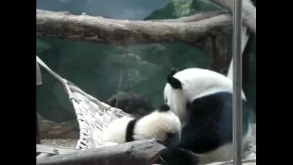 Панда прегръща бебето си