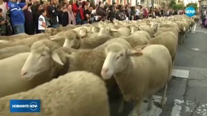 Хиляди овце блокираха най-известния булевард в Мадрид