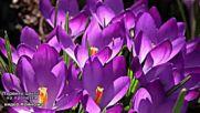 Първите цветя на пролетта