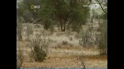 Трябва да гледате: лъвица приема бебе антилопа. Кратък документален филм, който ще отвори очите ви.