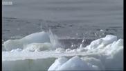 Имперараторски пингвин срещу Леопардов тюлен..