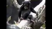Маймуна си бърка в задника