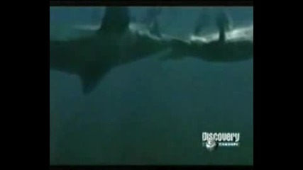 Animal Face - Off - Crocodile Vs Shark