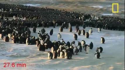 Пингвини правят вълна за да се стоплят