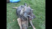 лов на вълци комунига 2009.10.04