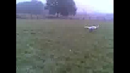 Dogo Argentino play