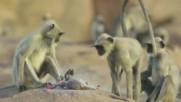 Маймуни оплакват кученце робот след неговата '' смърт ''