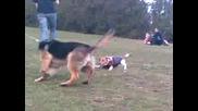 Немска Овчарка Си Играе С Кученце :d