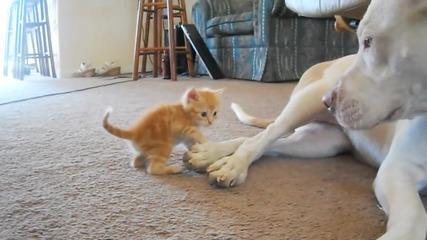 Питбул се сприятелява с коте