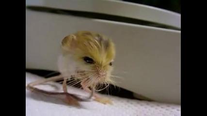 Най - малка мишка в света