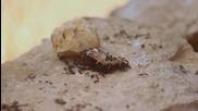 Мравки поглъщат тялото на умряла лястовичка