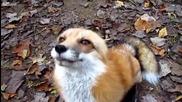 Опитомено лисиче си играе със стопанина си