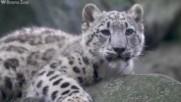 Изчезващ вид снежен леопард стана дядо, десетилетие след като беше спасен