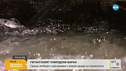 Комодският варан - най-големият и опасен гущер на планетата