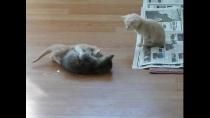 Две сладки котенца се борят