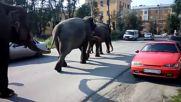 Russia: Three elephants walk around Zlatoust as circus comes to town