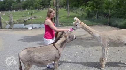 Ревниво магаре защитава момиче от лама .