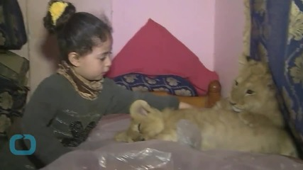 Lion Cubs Find a Home With Gaza Family