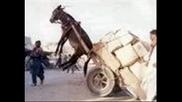 Попа - Куцо магаре