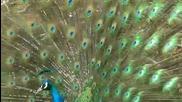 Паун - Най - красивата птица!