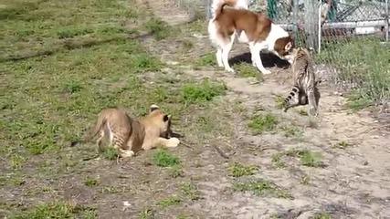 Хъски,лъвче и тигърче си играят