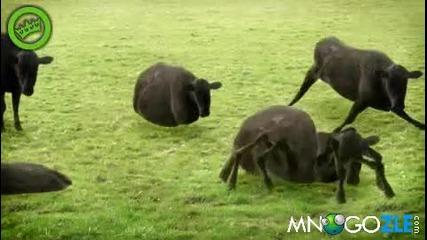 забавлиние с мен и с моите крави