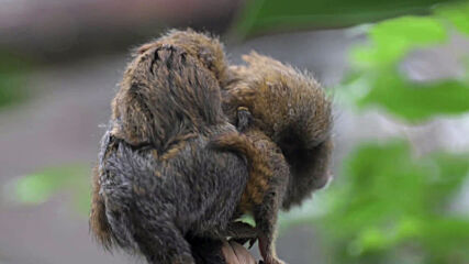 Double TINY trouble! Twin pygmy marmoset monkeys born at UK zoo