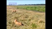 лъв застрашава лов в природата
