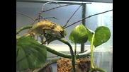Хамелион изяжда скакалец