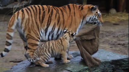 Игриви Тигърчета - Сладури :)