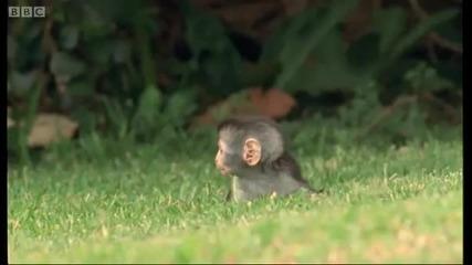 Как малките маймунки Се Развиват - Красота