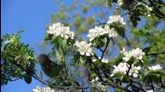 Така красиво цъфтят ябълковите дървета!