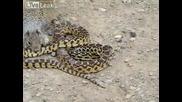 Смела катерица атакува змия!
