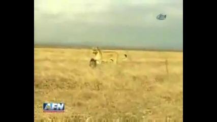 Смелo глиганче срещу лъвица!
