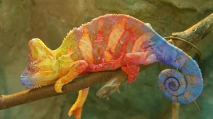 Ето как хамелеонът променя цвета си