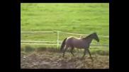 Ахалтекински  кон  с  малко  конче