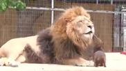 Куче в клетката на лъва