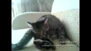 Котка-самоубиец бие си шамари по главата