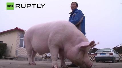Chinese Man Rides Massive Pet Pig Around City - Literally Piggy Back!
