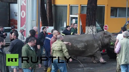 Georgia: Hippo spotted strolling through Tbilisi