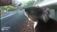 Колоездач среща на пътя жадна коала