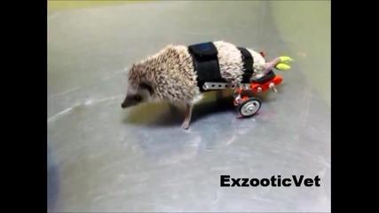 Парализиран таралеж получава инвалидна количка!